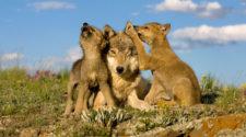 Wölfe: Wolf mit Jungen