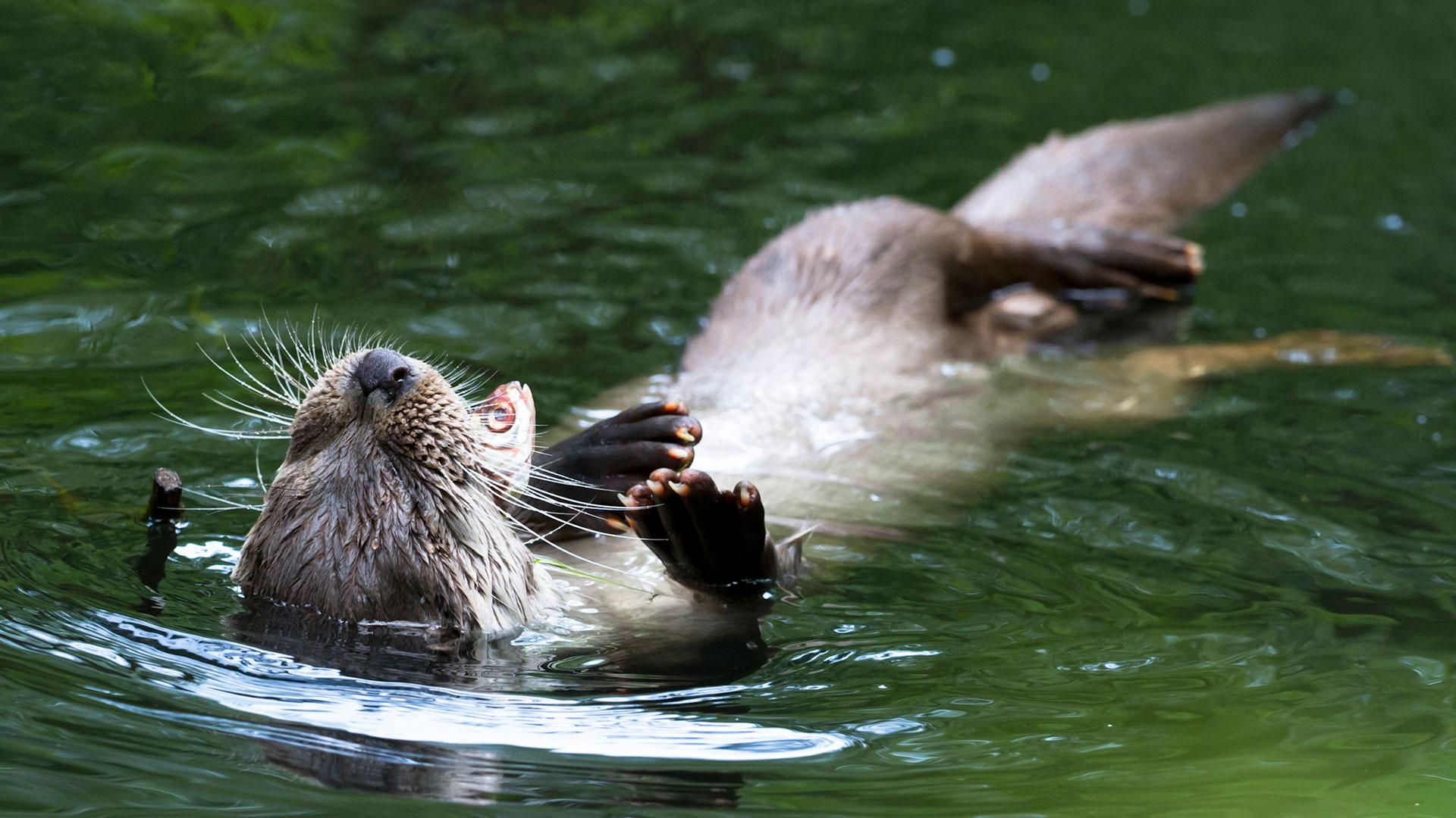 Fischotter beim Fressen