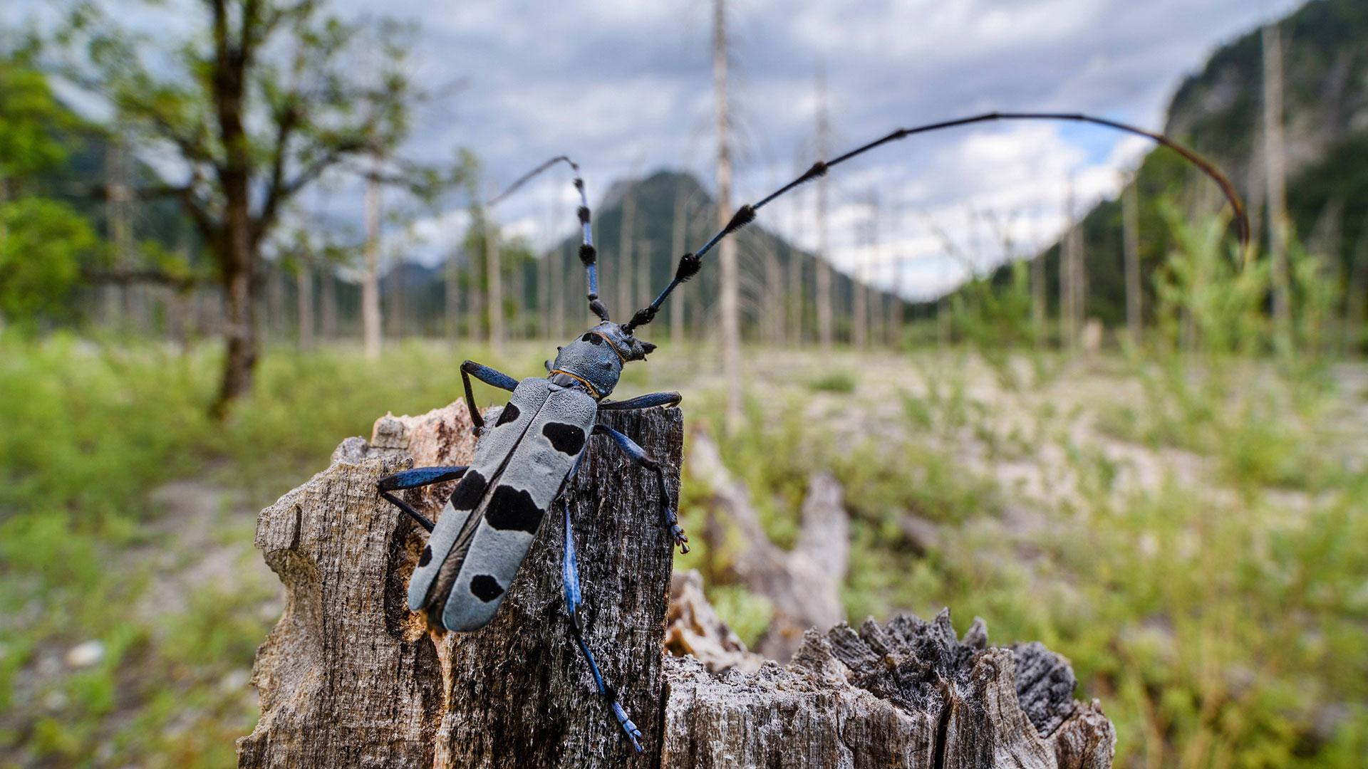 Urwald: Käfer Alpenbock