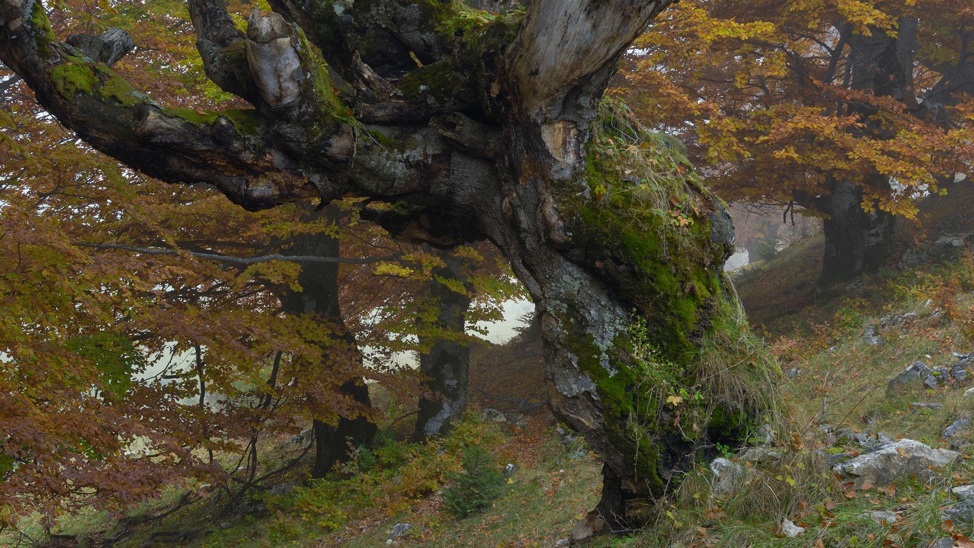 Baum erkennen: Buche