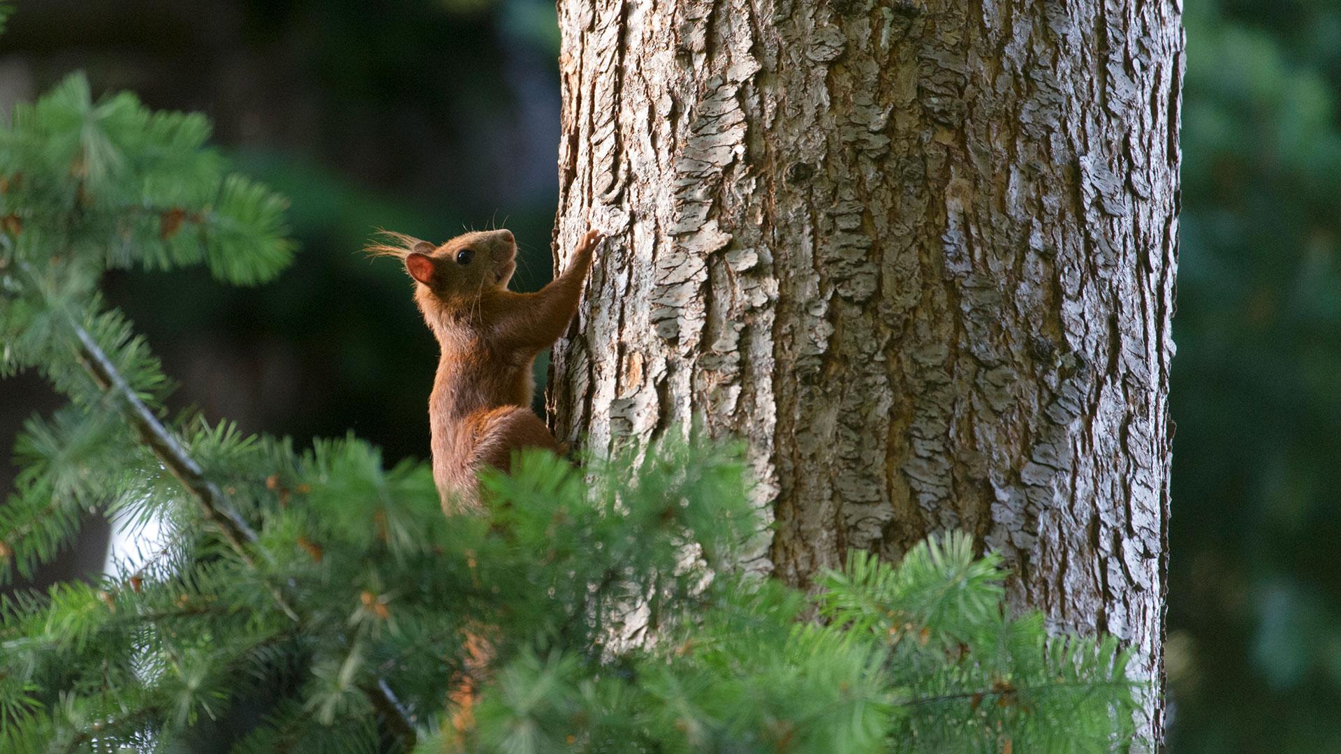 Wald entdecken: Eichhörnchen am Baum