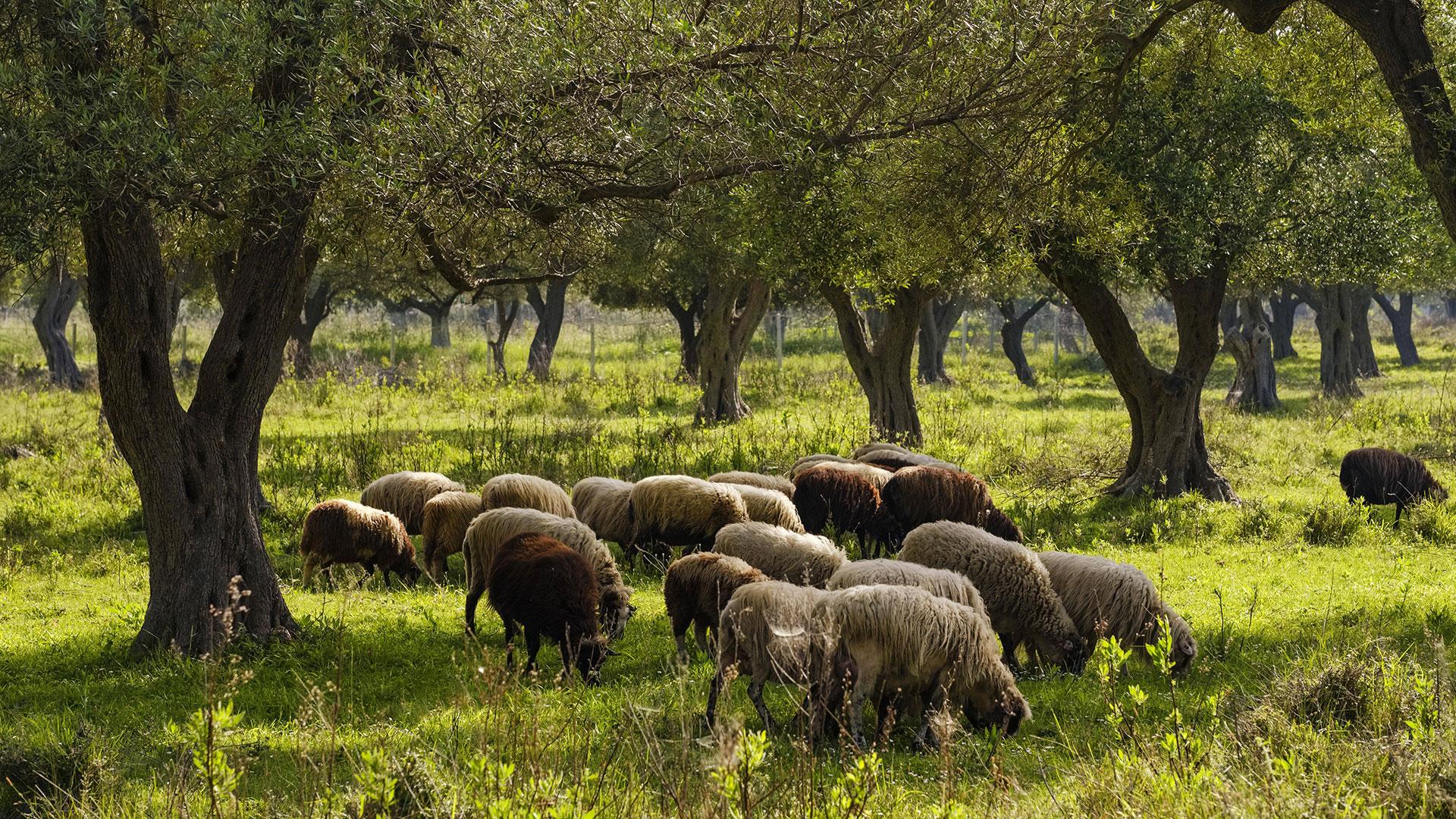 Urwald: Schafe im Wald