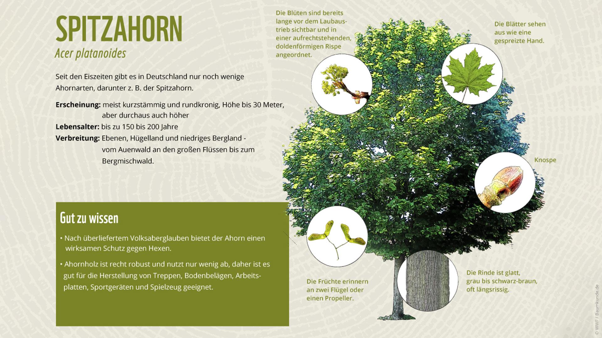 Bäume erkennen Spitzahorn