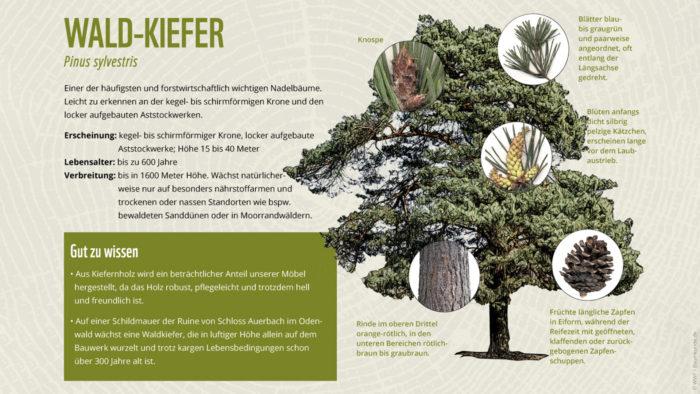 Bäume erkennen Kiefer