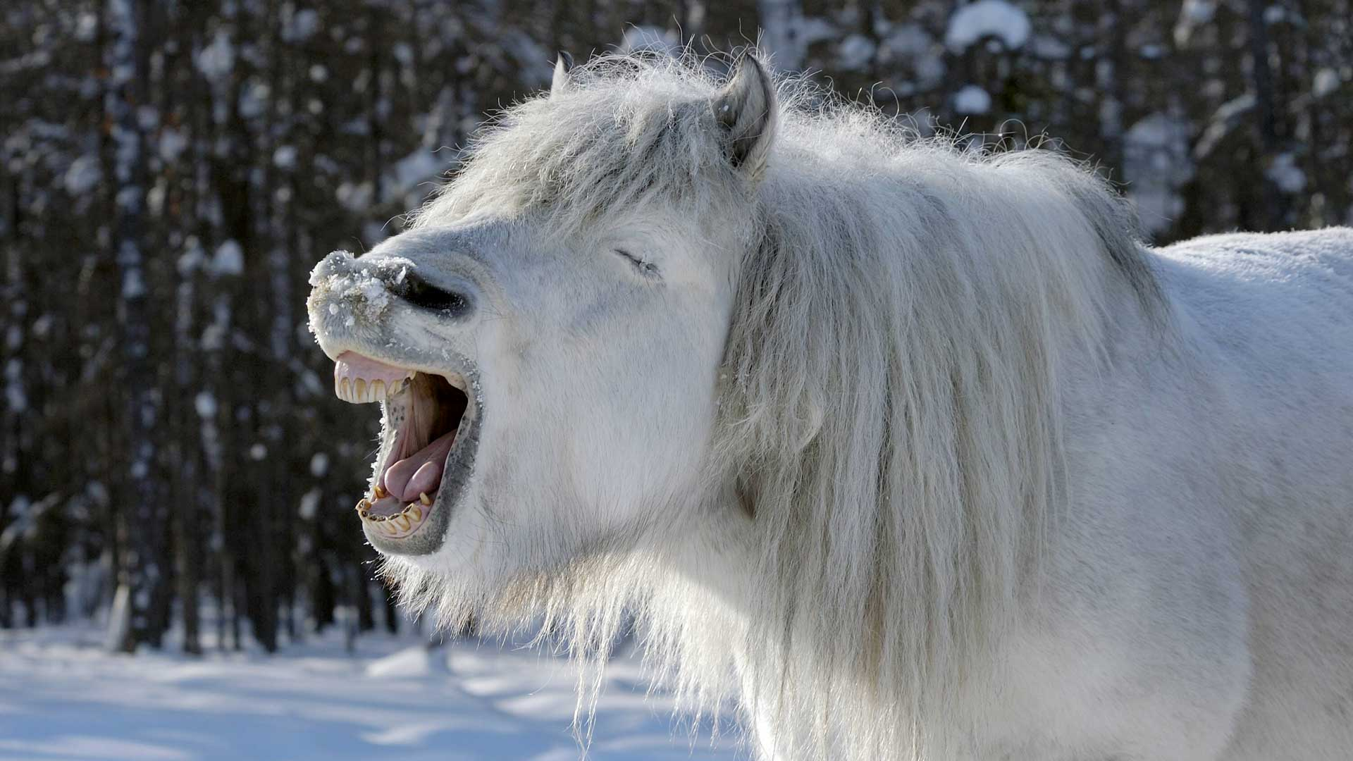 Überleben im Winter: Für Jakutenpferde kein Problem