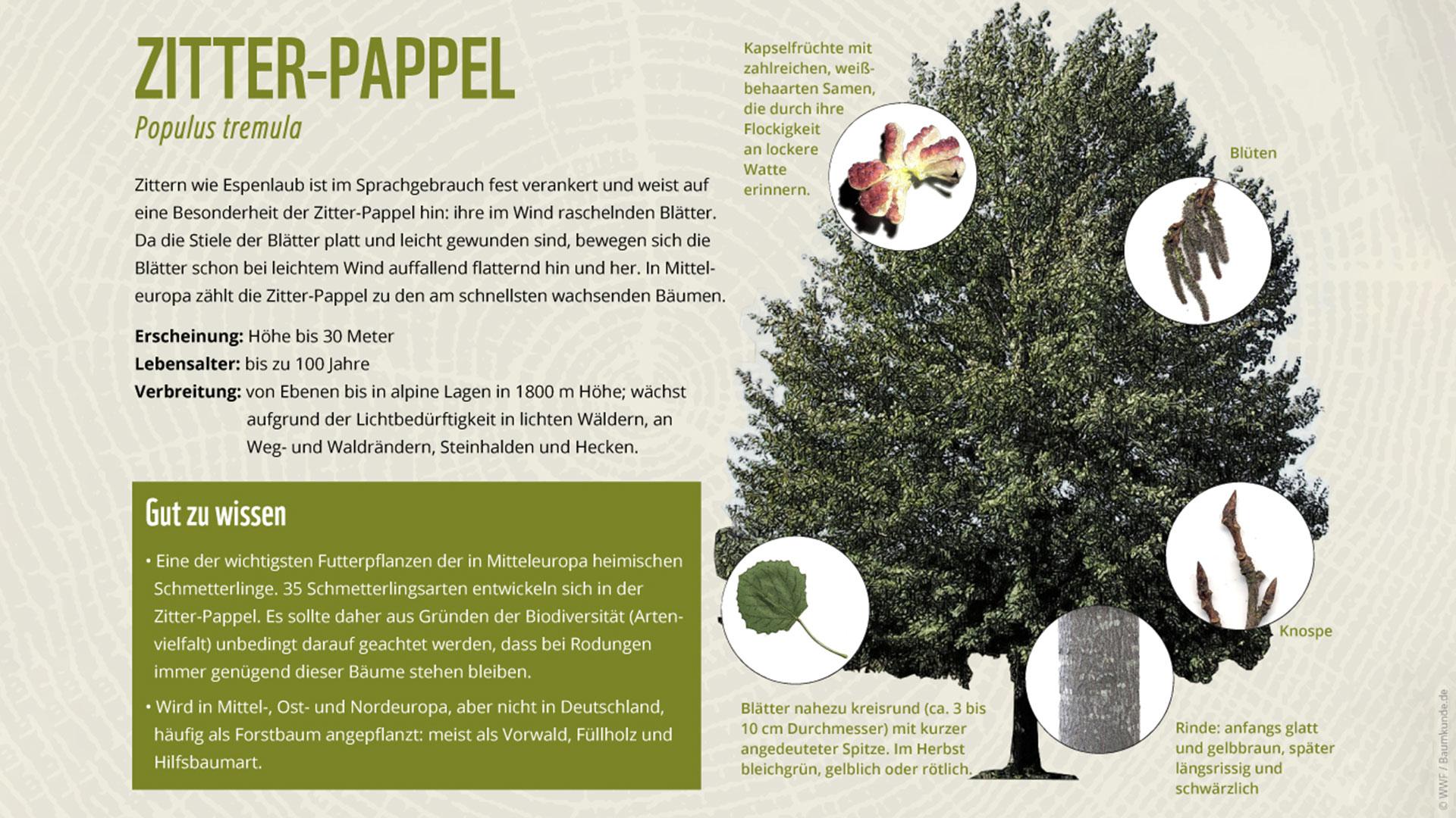 Bäume erkennen: Zitterpappel