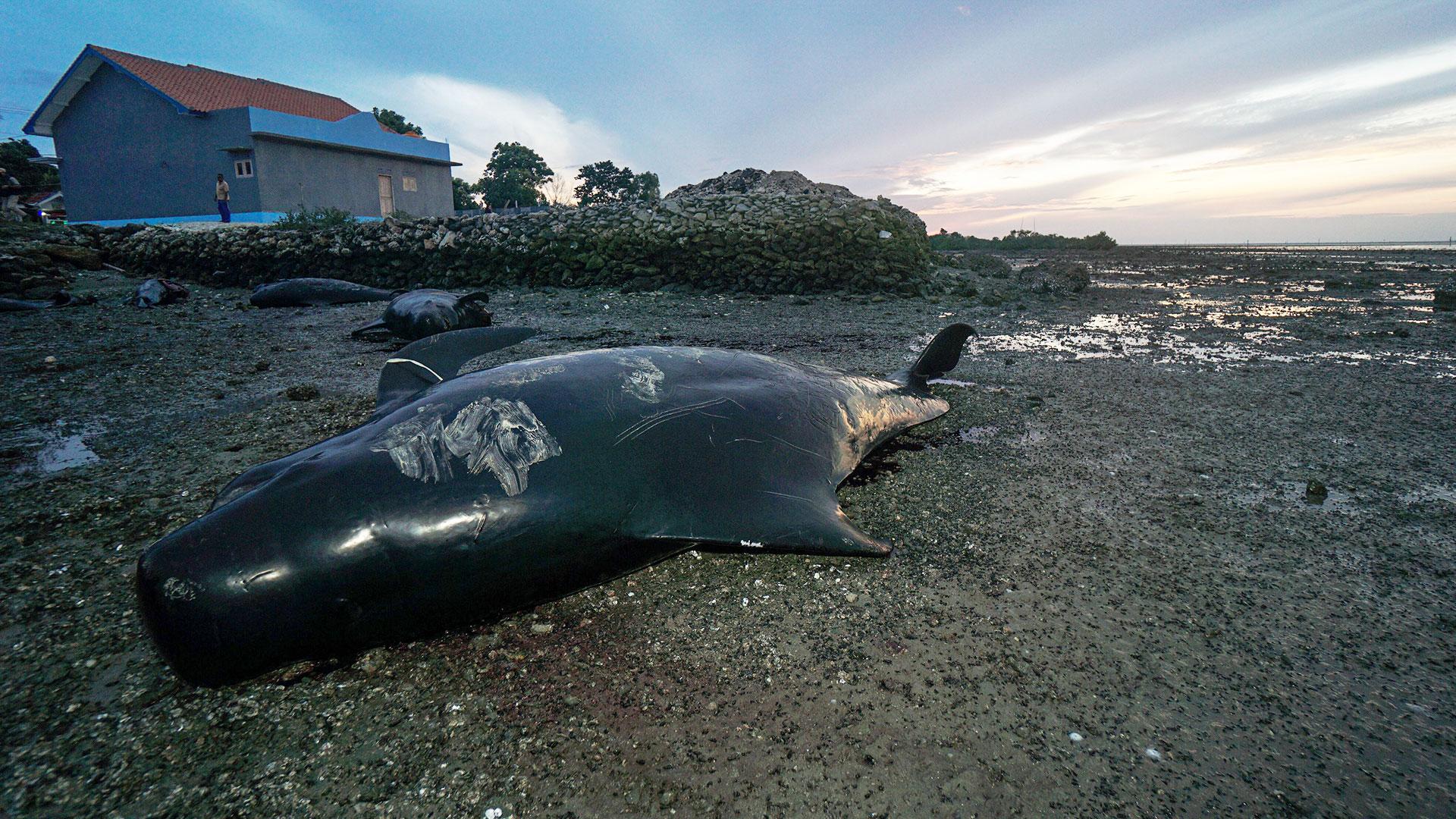 Wale stranden vor Indonesien: Grind-Wale liegen am Strand
