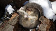 Tiere im Winter: Siebenschläfer beim Winterschlaf