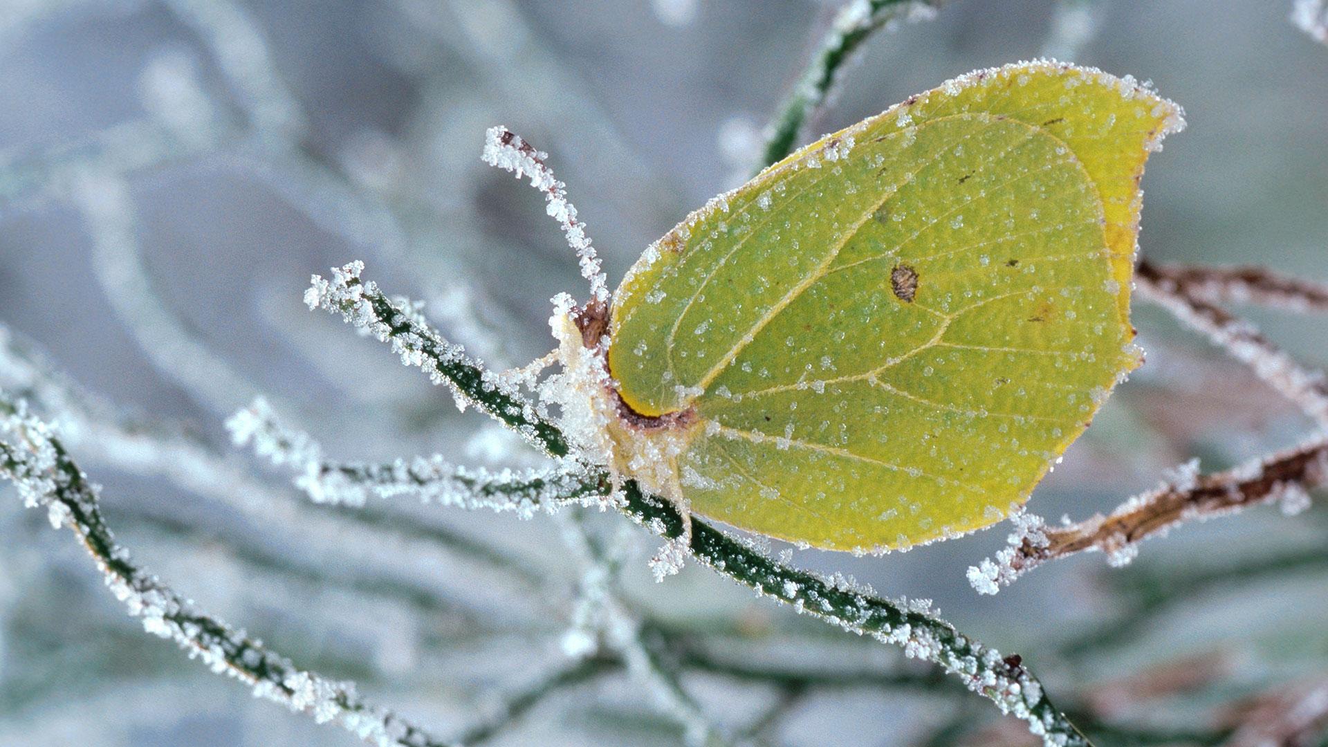 Tiere Winter: Zitronenfalter im Eis