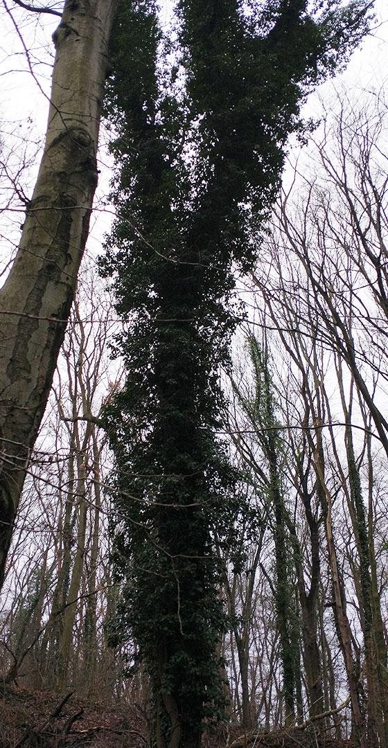 Efeu-bewachsene Bäume am Caputher See