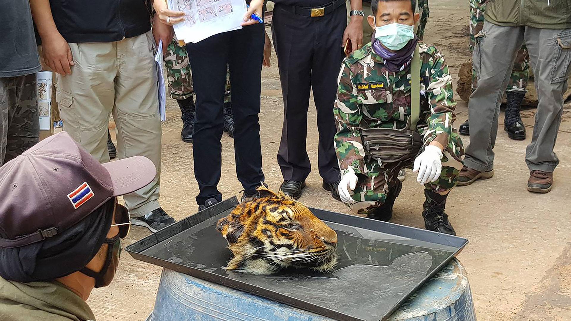 Tigerfarm in Thailand: Geköpfter Tiger