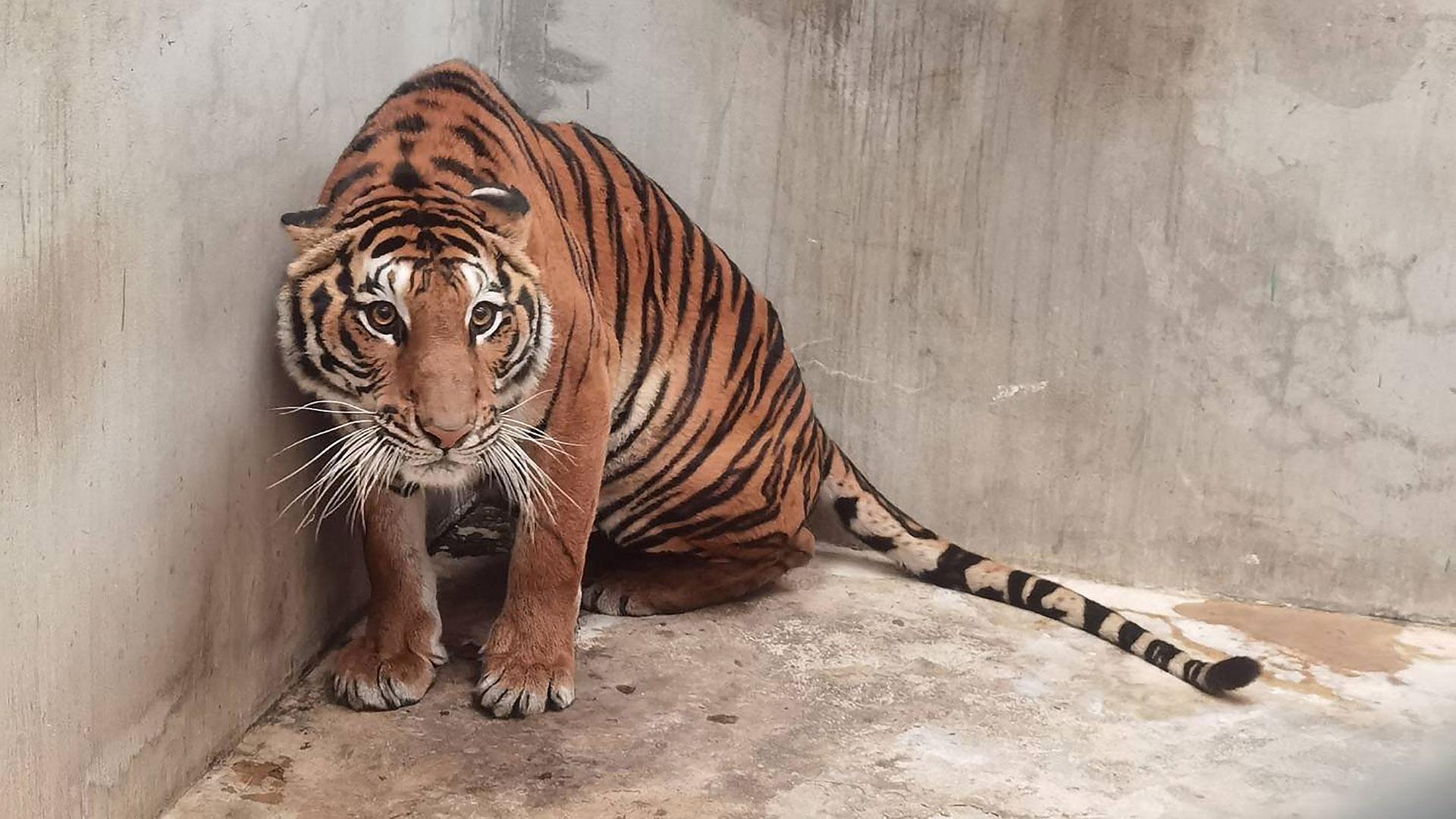 Tiger in Tigerfarm