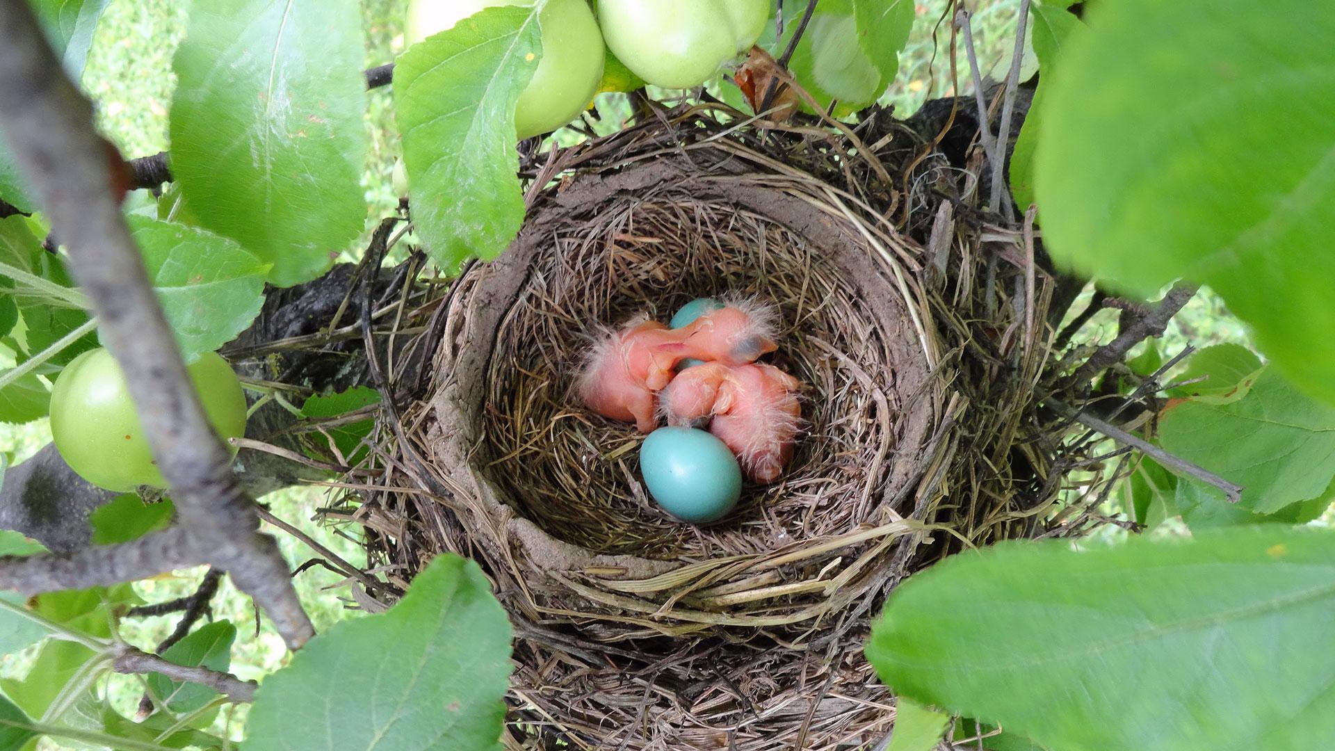 Grüne Eier im Vogelnest