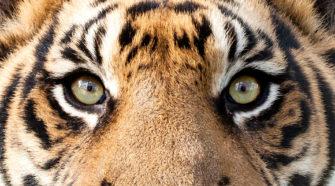 Tiger Augen