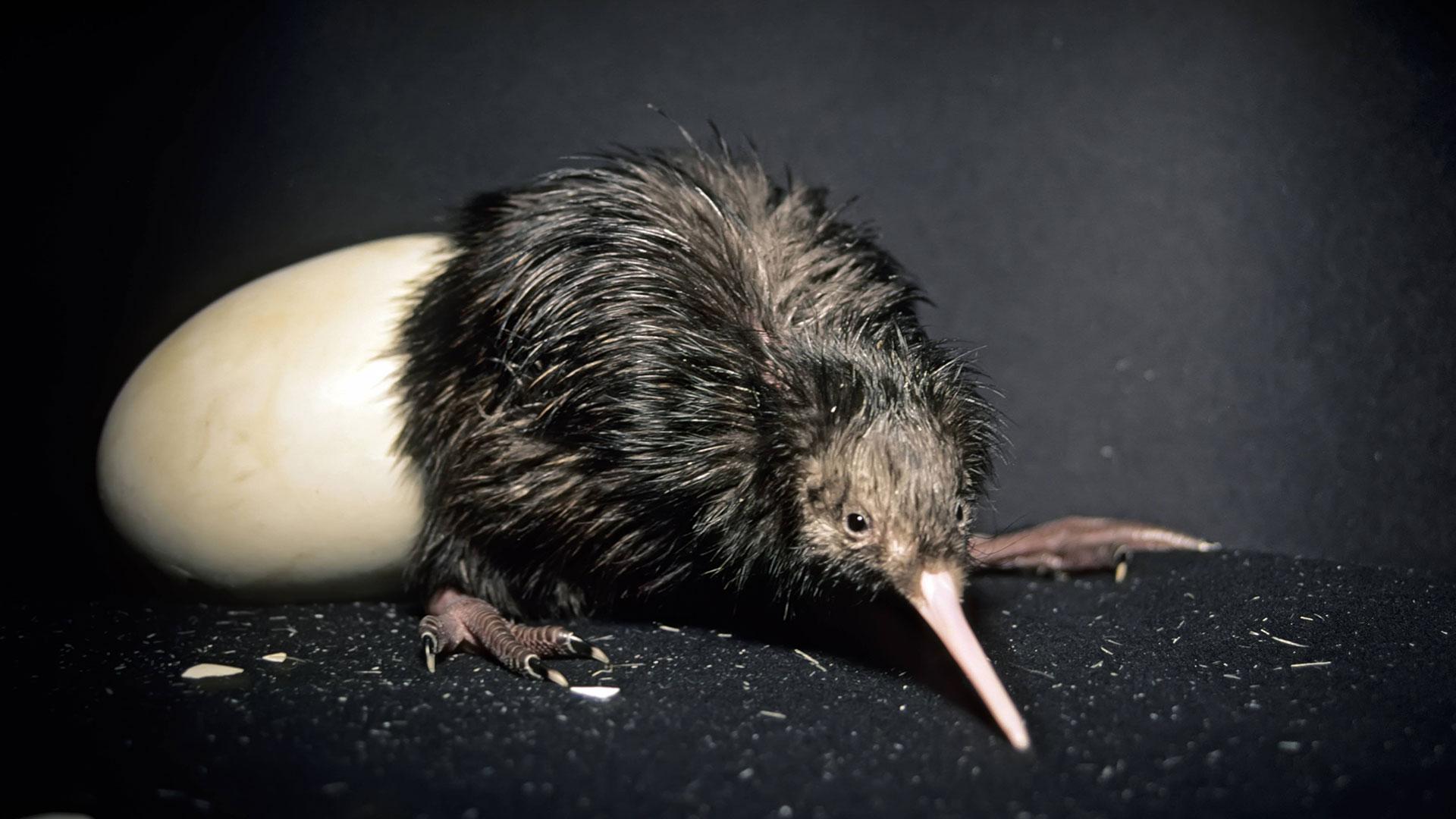 Eier: Kiwi mit Ei