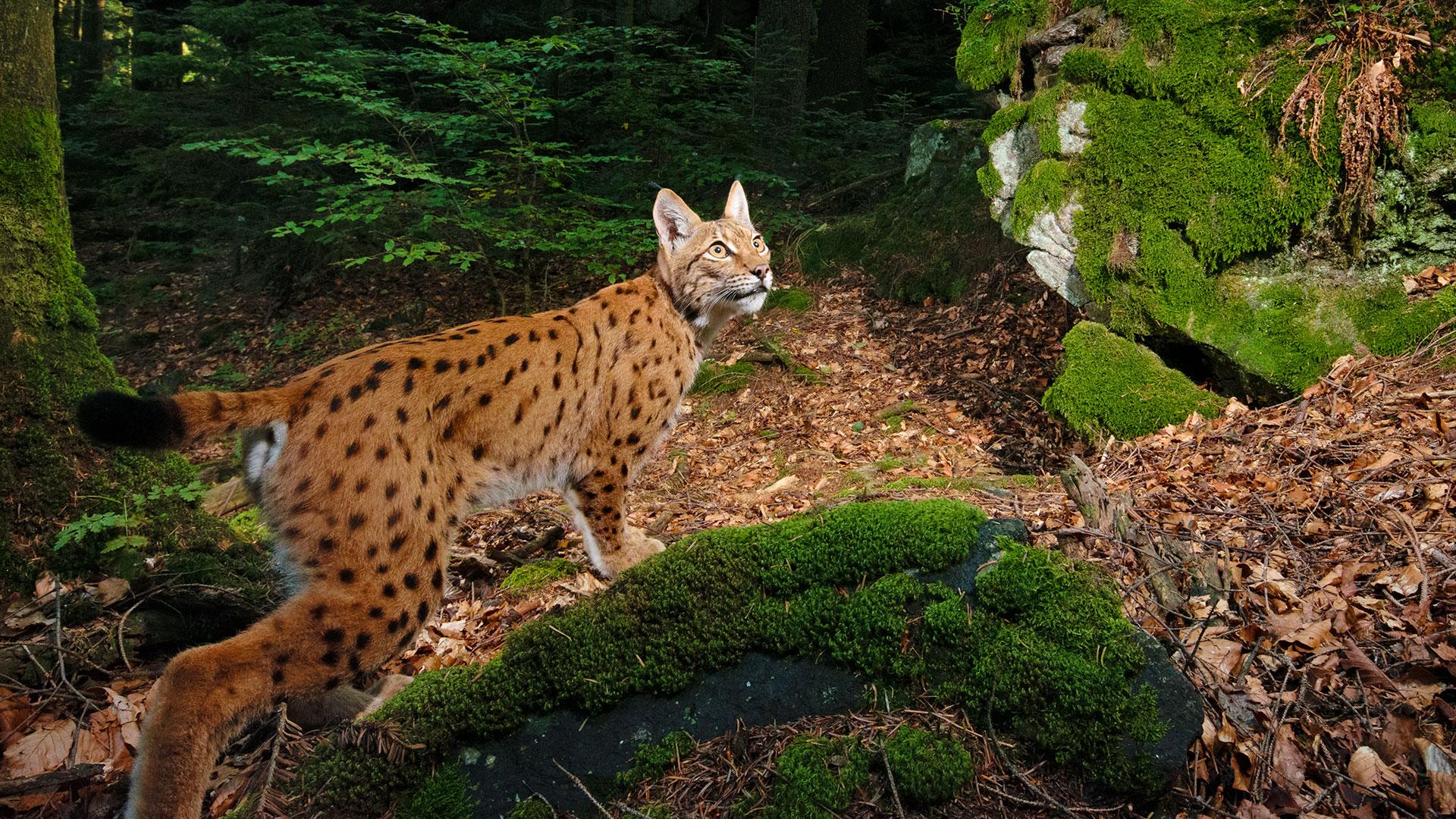 Luchs in Deutschland im Wald auf der Jagd