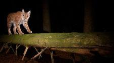 Luchs nachts auf der Jagd im Wald in Deutschland
