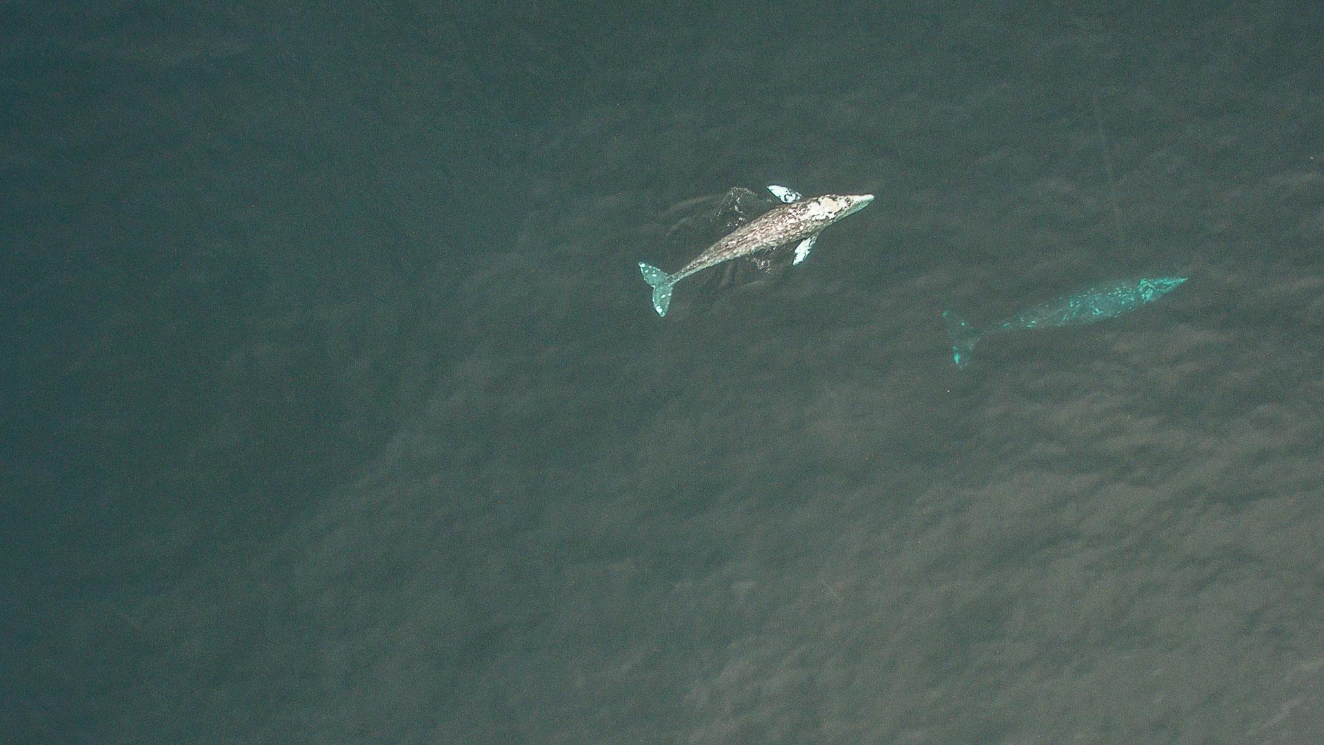 Wale schwimmen vor Kaliforniern