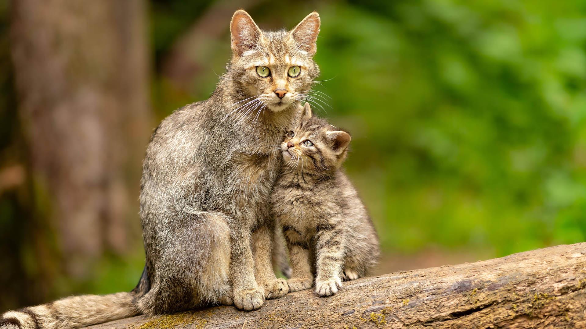Fast ausgestorben: Wildkatzen