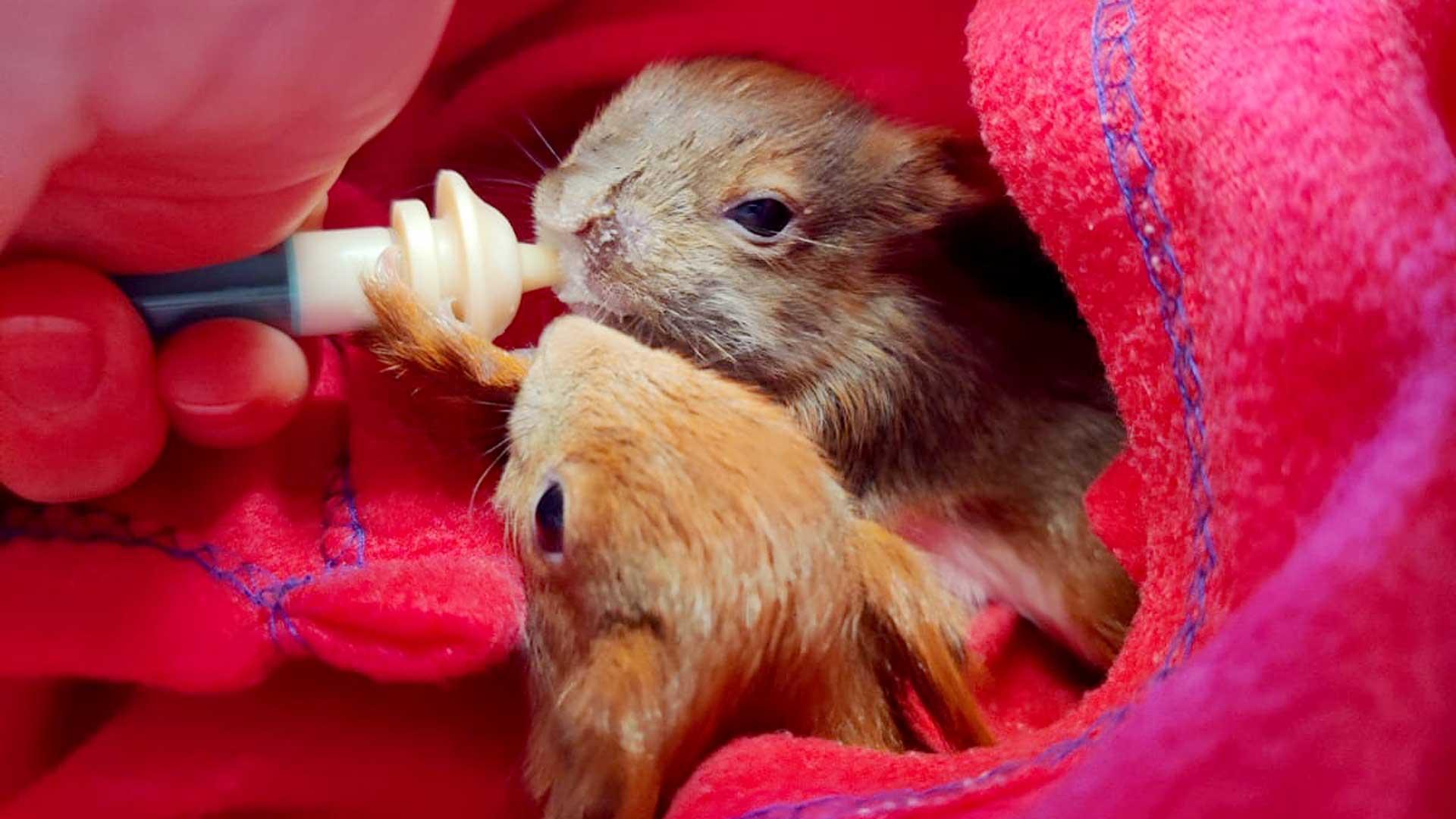 Eichhörnchen Babys in der Pflegestation
