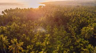 Besser als Palmöl? Kokospalmen in Monokultur