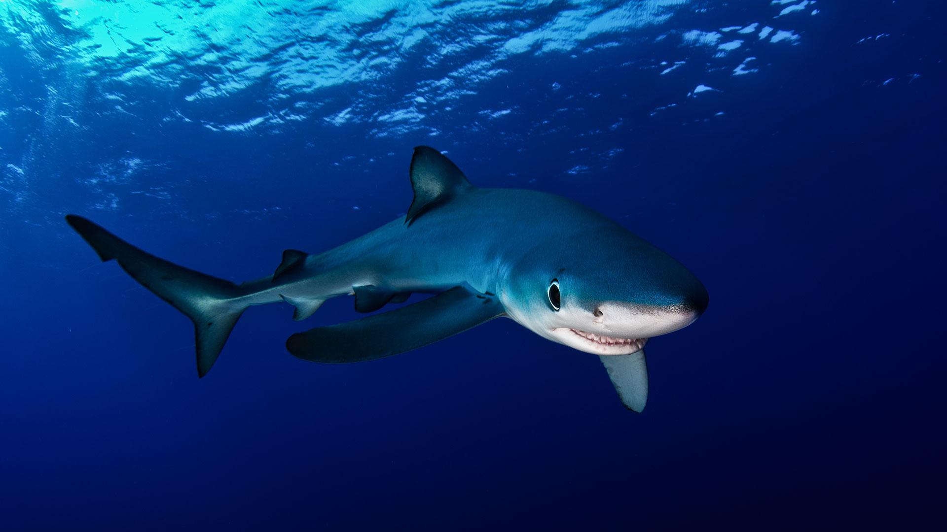 Blauhai in der Nordsee