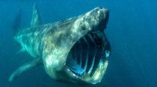 Riesenhai in der Nordsee