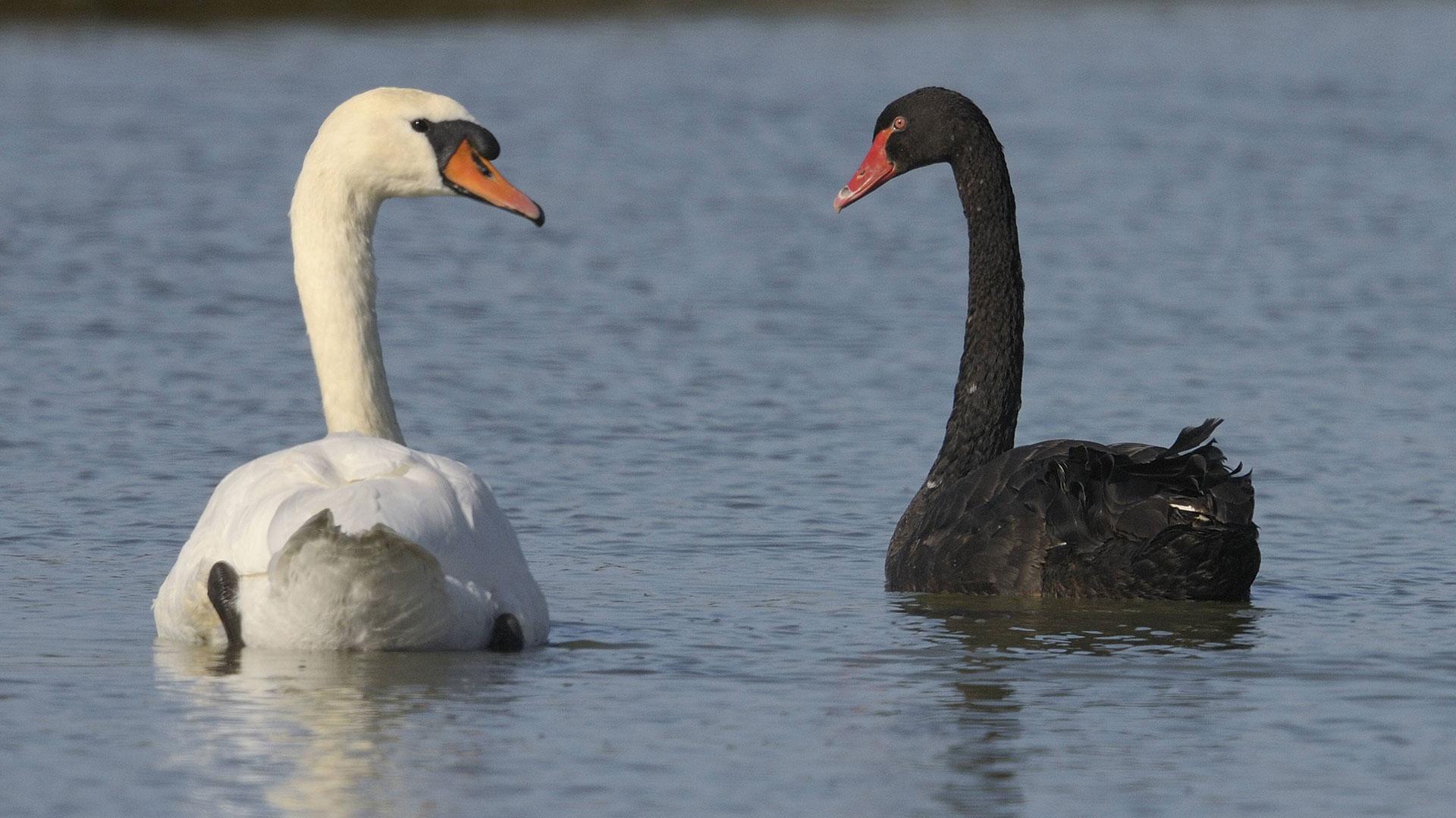 Schwarzer und weißer Schwan
