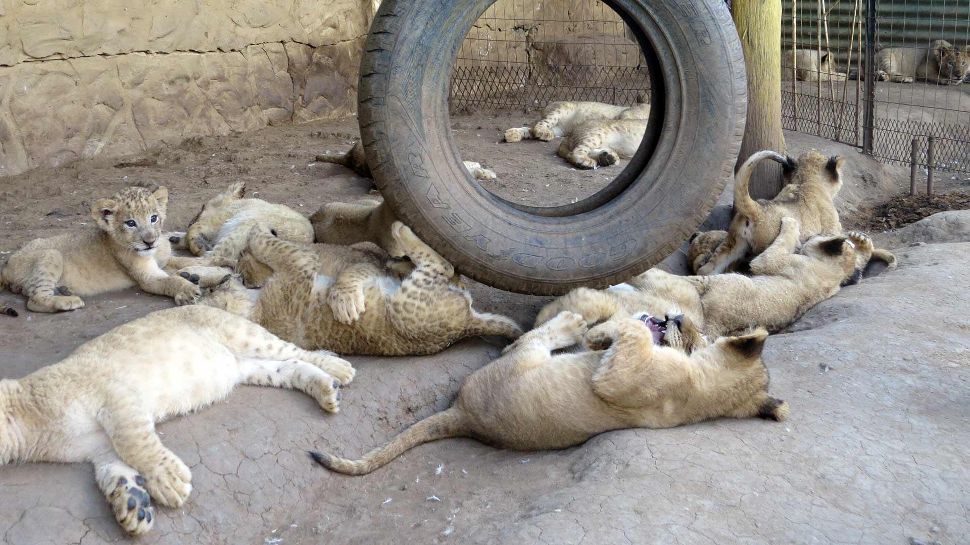 Löwen in Löwenfarm