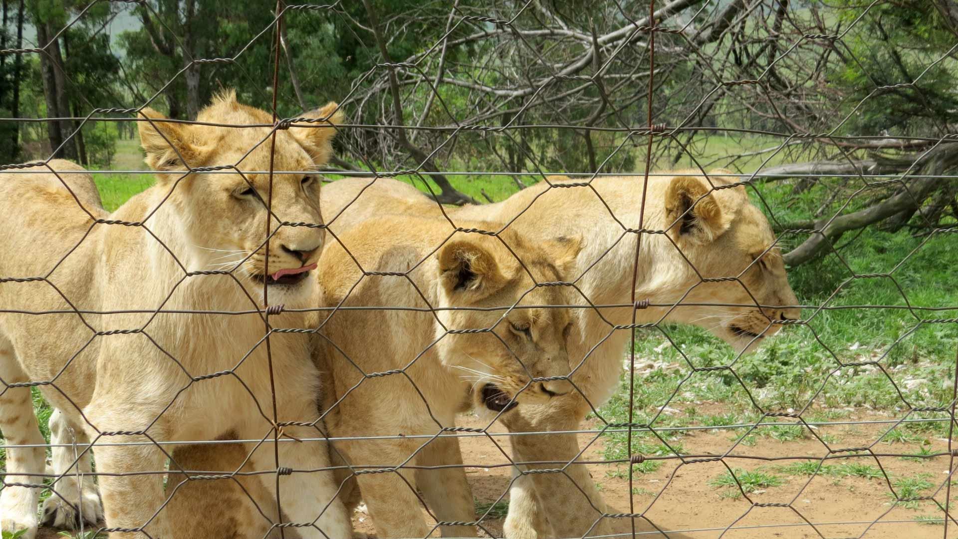 Löwen in Löwenfarm in Südafrika