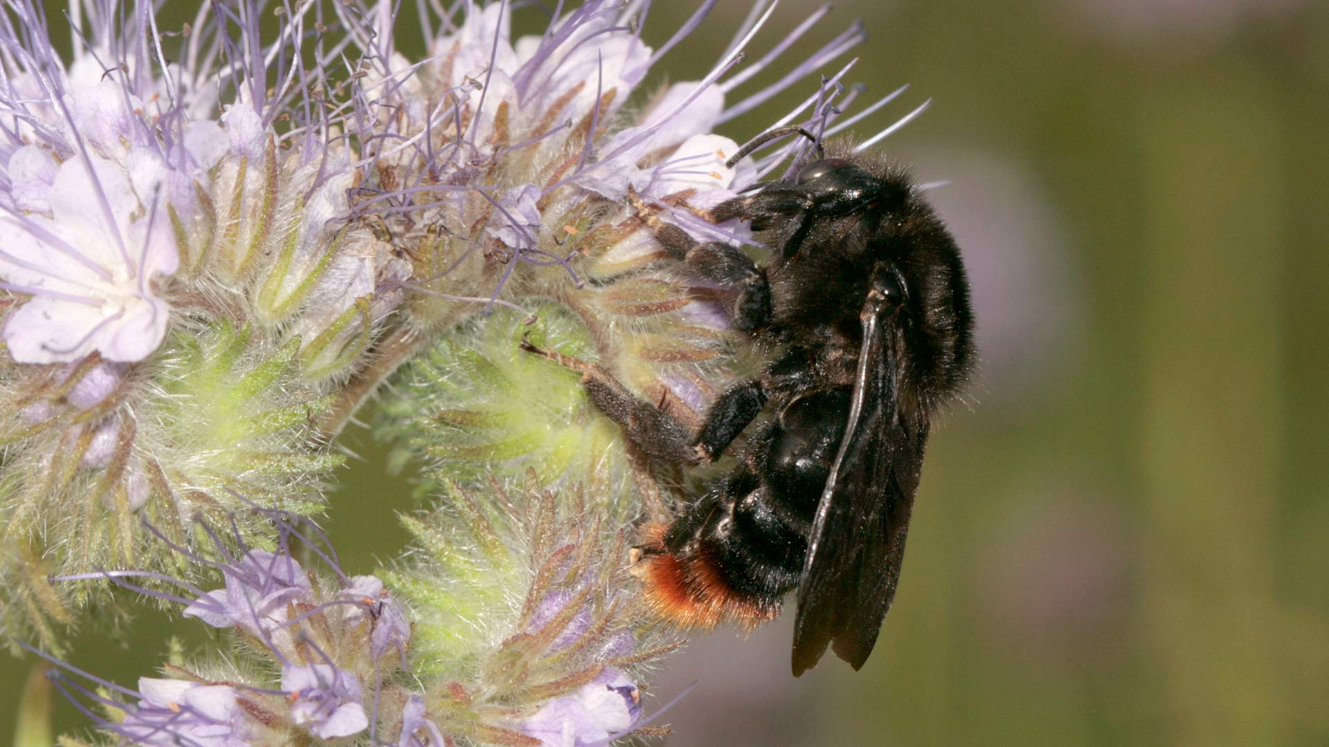 Wildbiene Kuckuckshummel