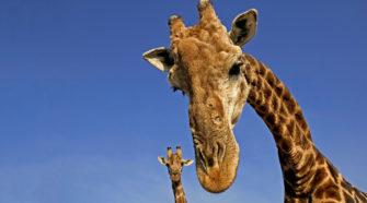 Wie schlafen Giraffen? Wie kämpfen sie? Wie schnell und wie groß sind Giraffen? Und warum ist die Giraffenzunge blau? Faszinierende Fakten über Giraffen.