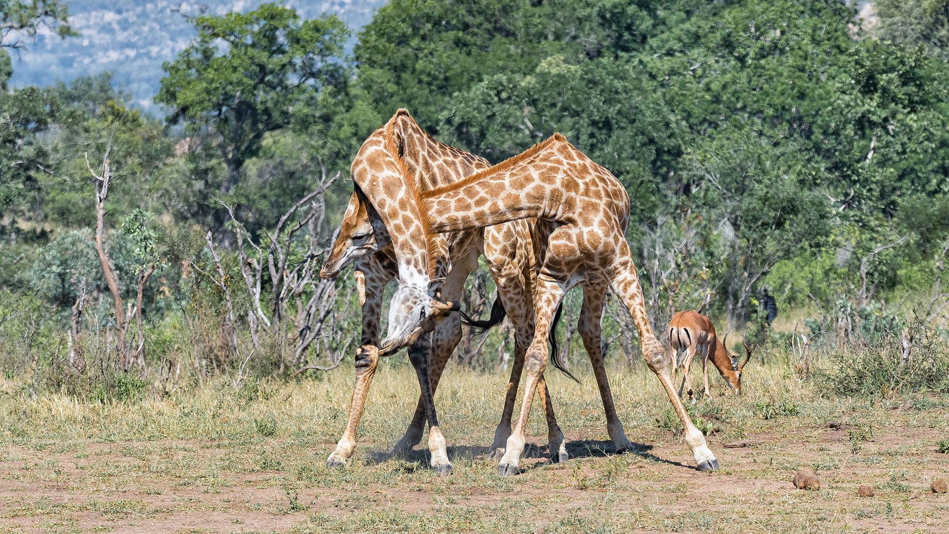 Giraffen beißen nicht. Giraffen kämpfen, indem sie ihre Hälse aneinander schlagen.