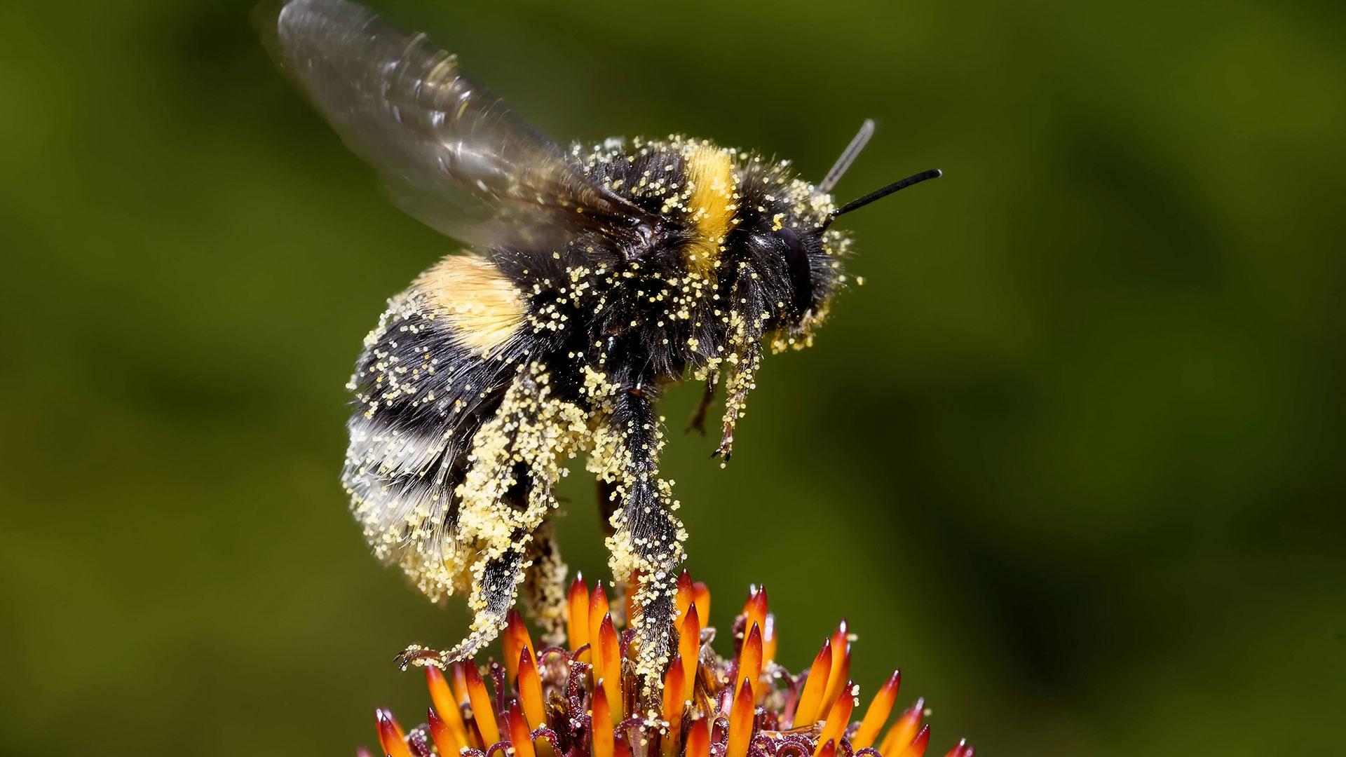 Hummeln sind erstaunliche Insekten und sehr wichtig für unser Ökosystem.