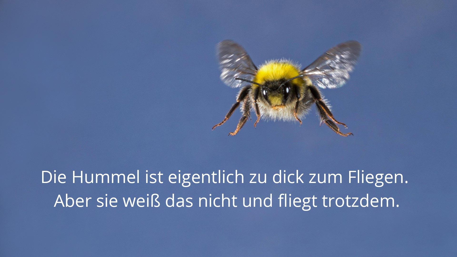 Das Hummel-Paradoxon besagt, dass die Brummer nach Gesetzen der Aerodynamik nicht fliegen können dürften. Das stimmt aber nicht.