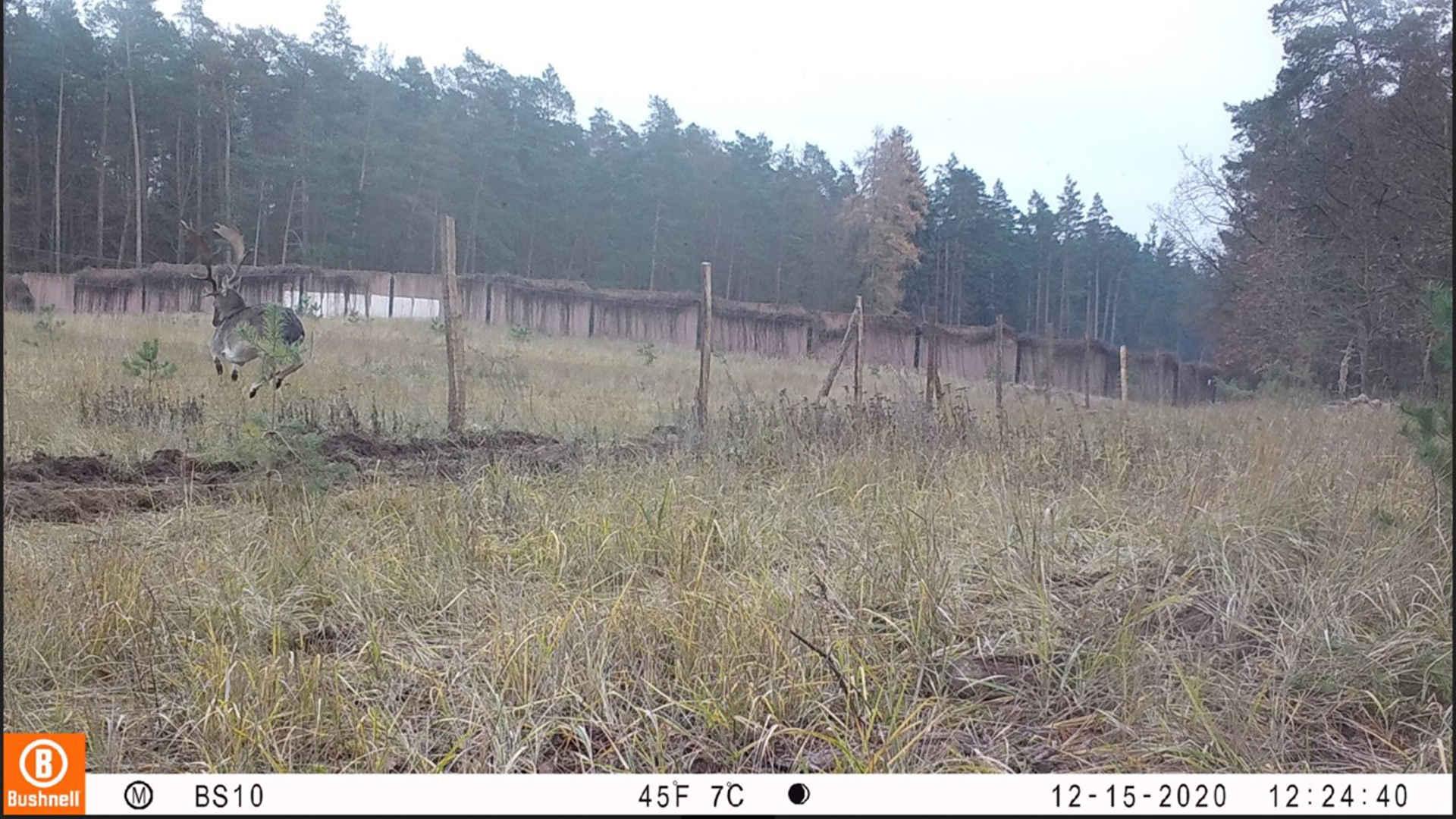Zaun Schweinepest: Hirsch springt in den Zaun Fotofalle
