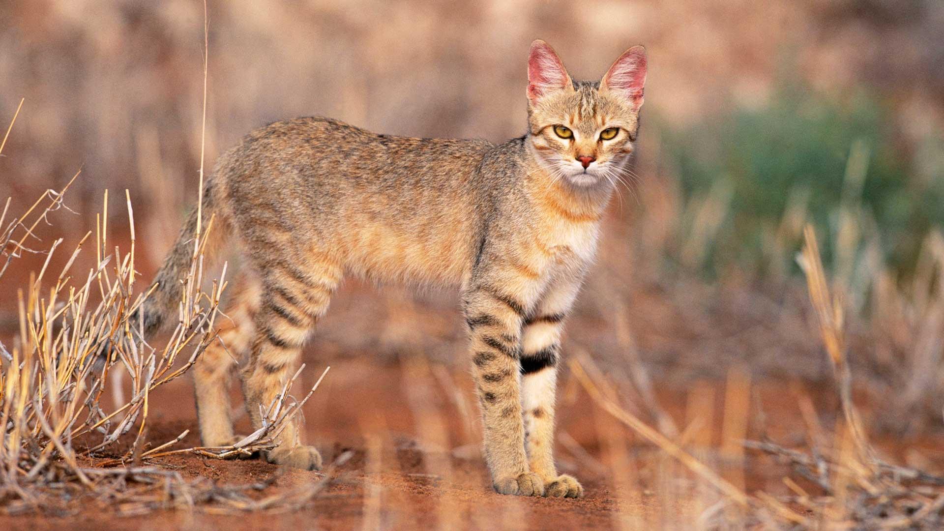 Afrikanische Wildkatzen, Falbkatzen: Von ihnen stammen unsere Hauskatzen ab.