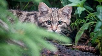 Wildkatzen, Waldkatzen: Wo leben sie? Wie erkennt man sie?