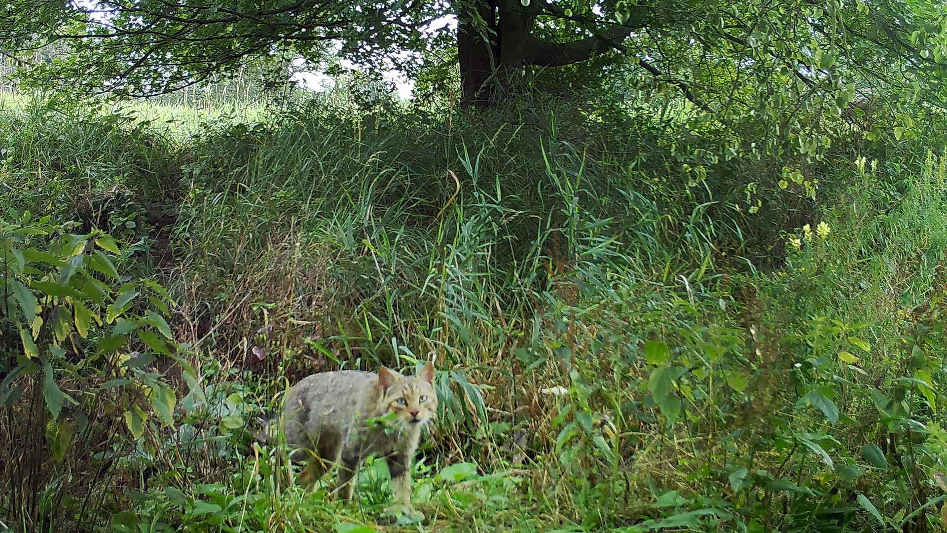 Wo leben Wildkatzen in Deutschland?