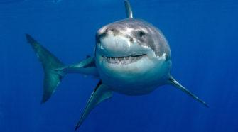 Haie und ihr Imagewandel: Weißer Hai. Haie sind schutzbedürftig.