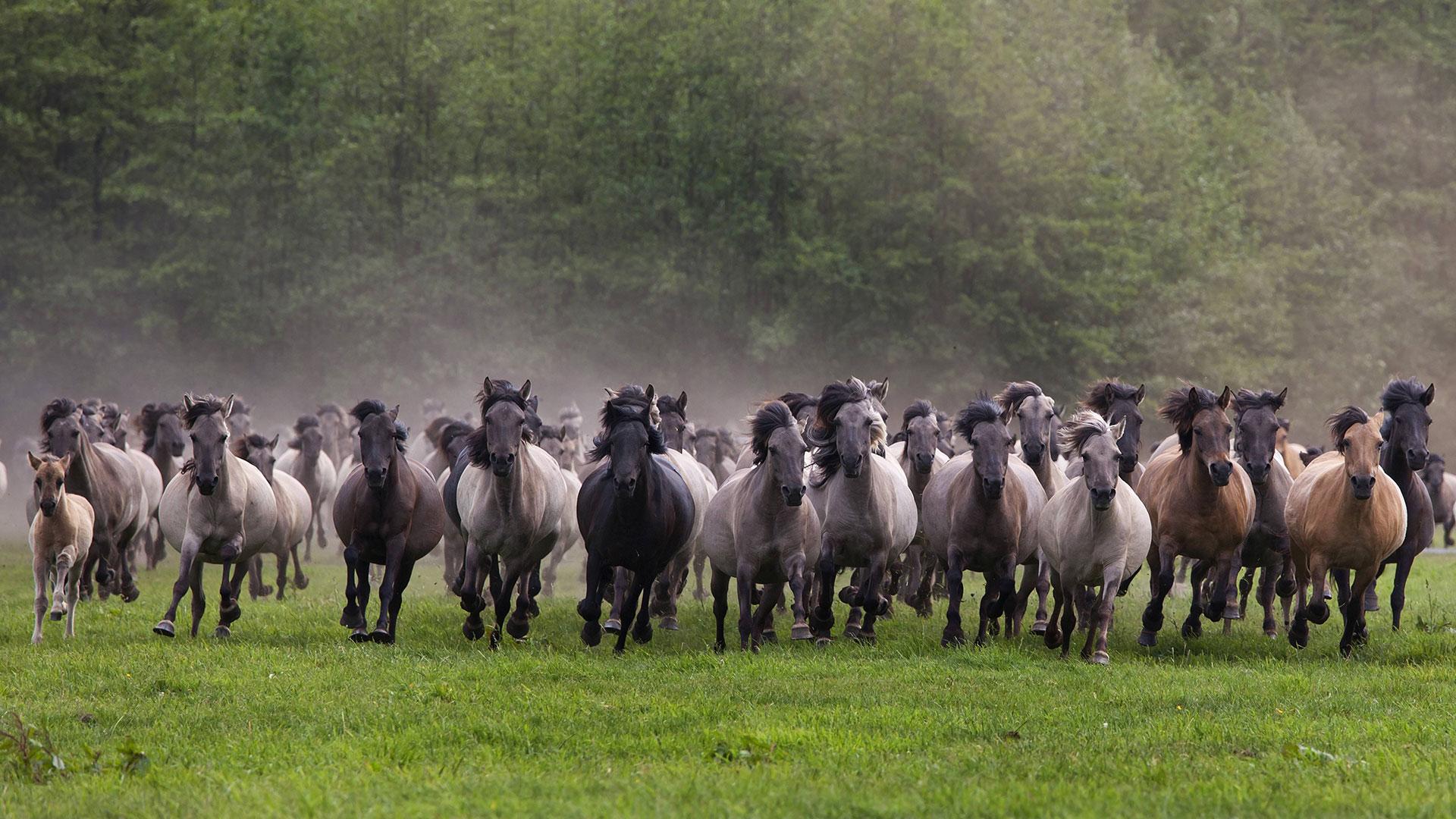 Wildpferde in Deutschland: Dülmener Wildpferde und zum Beispiel auch Mustangs sind keine echten Wildpferde