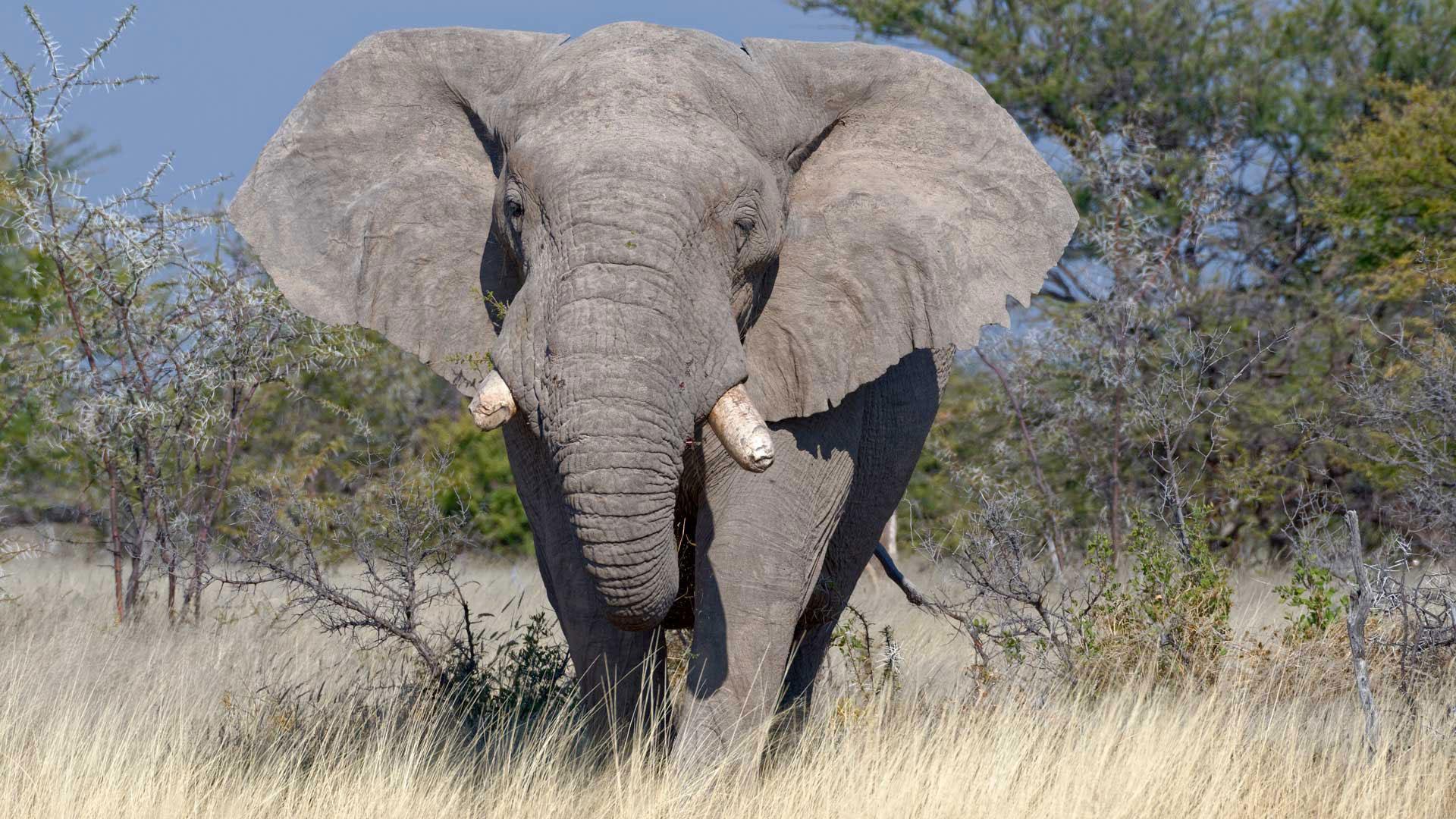 Wie groß werden Elefanten?