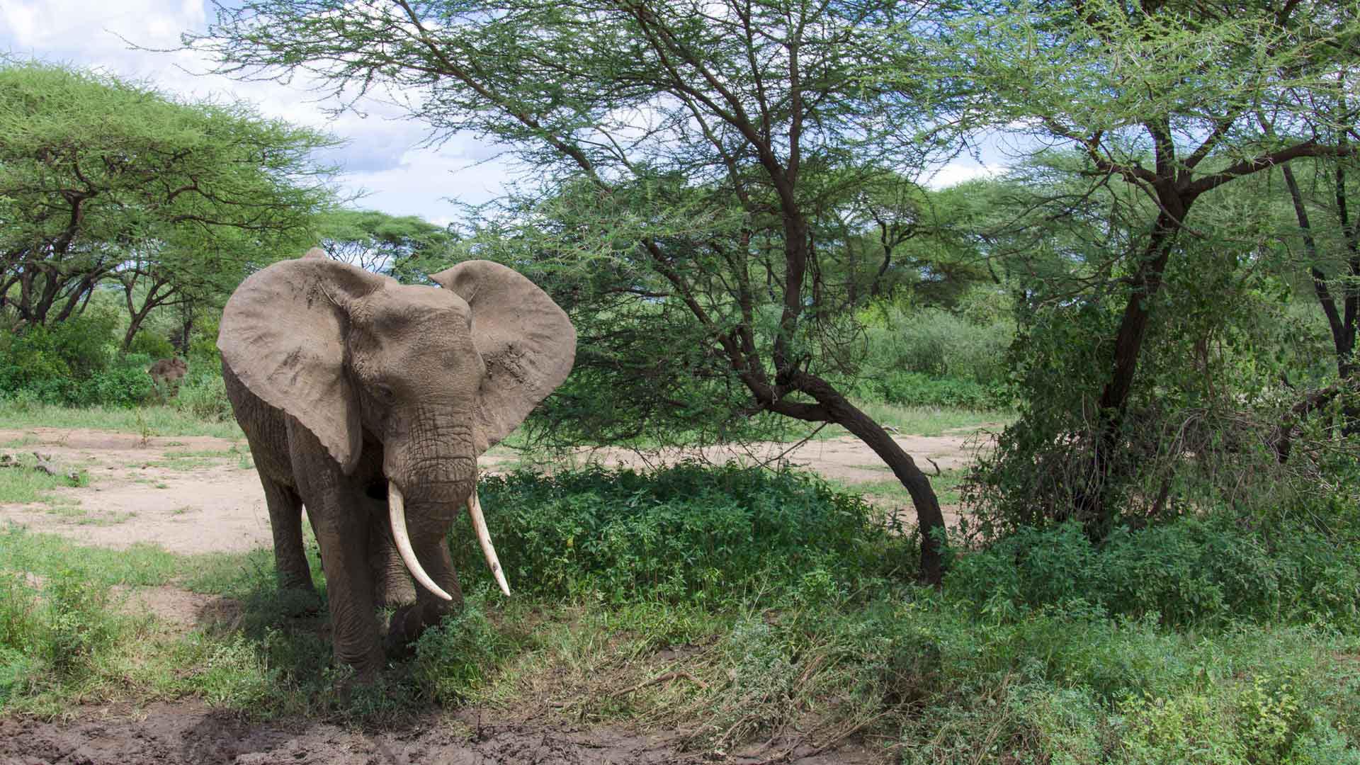 Warum sind Elefanten wichtig?