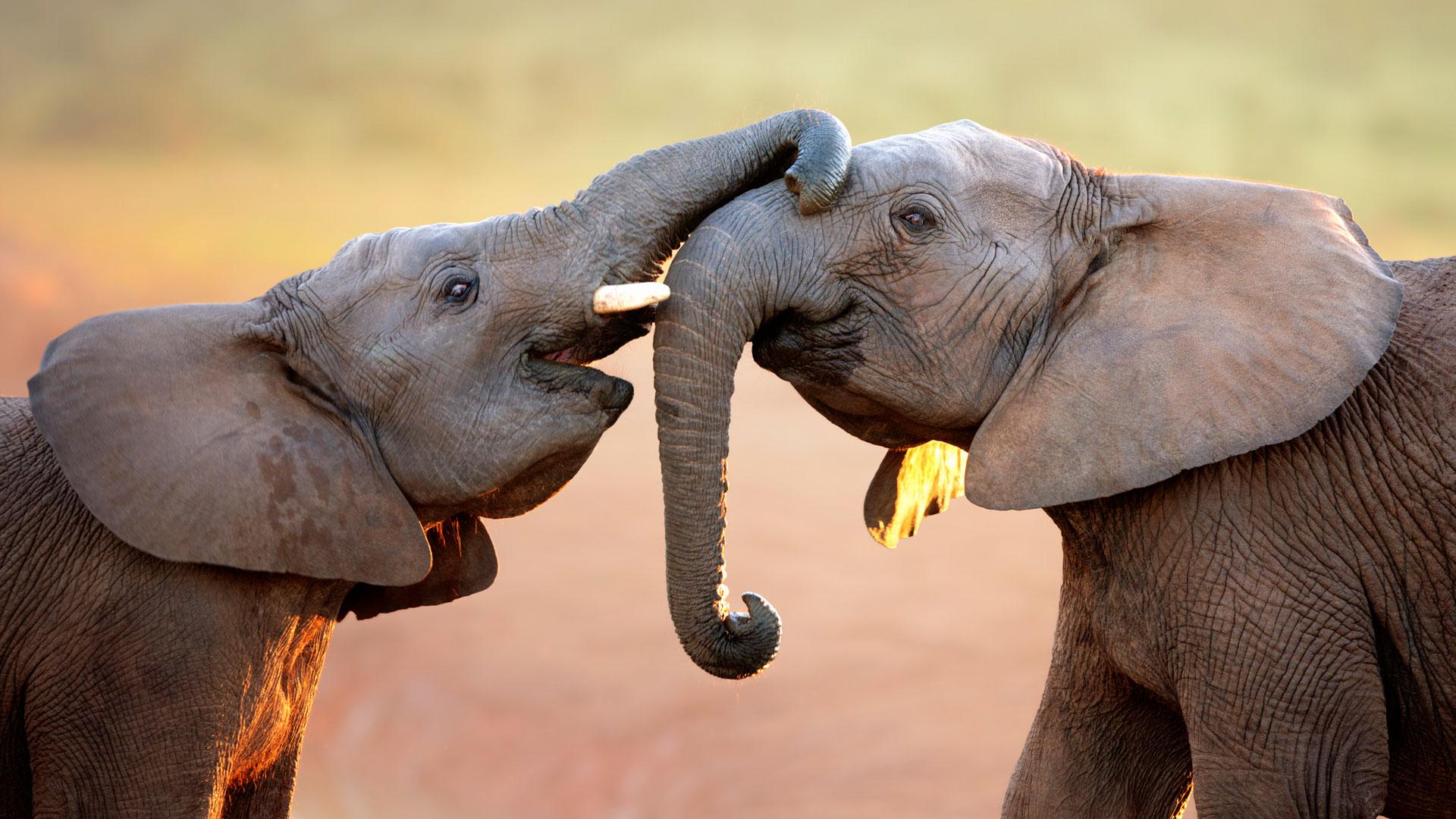 Wie kommunizieren Elefanten? Auch durch ihre Körpersprache.