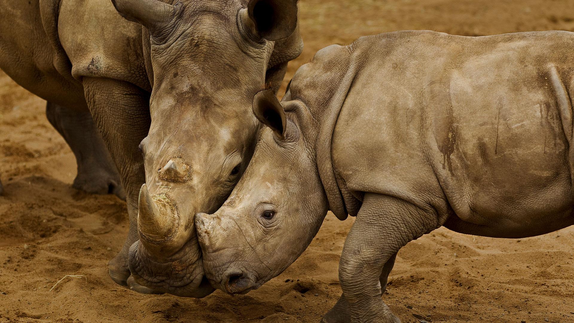 Welche Geräusche machen Rhinozerosse?