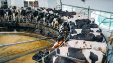 Kühe Landwirtschaft Un FSS Ernährungsgipfel