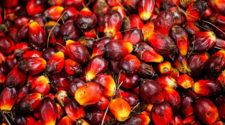 Palmöl Ölpalme Früchte