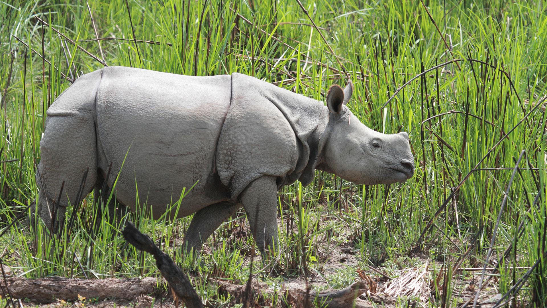 Wie viele Nashörner gibt es noch? Wozu brauchen sie ihr Horn?