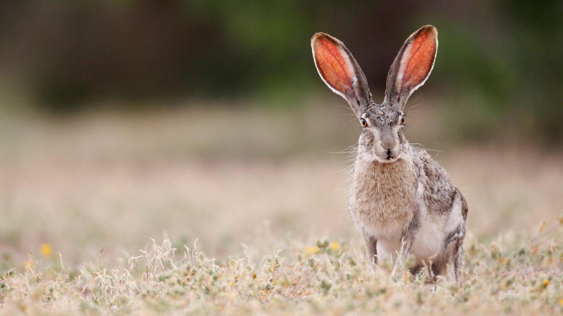 Warum haben Hasen so lange Ohren? Können Hasen Farben sehen?