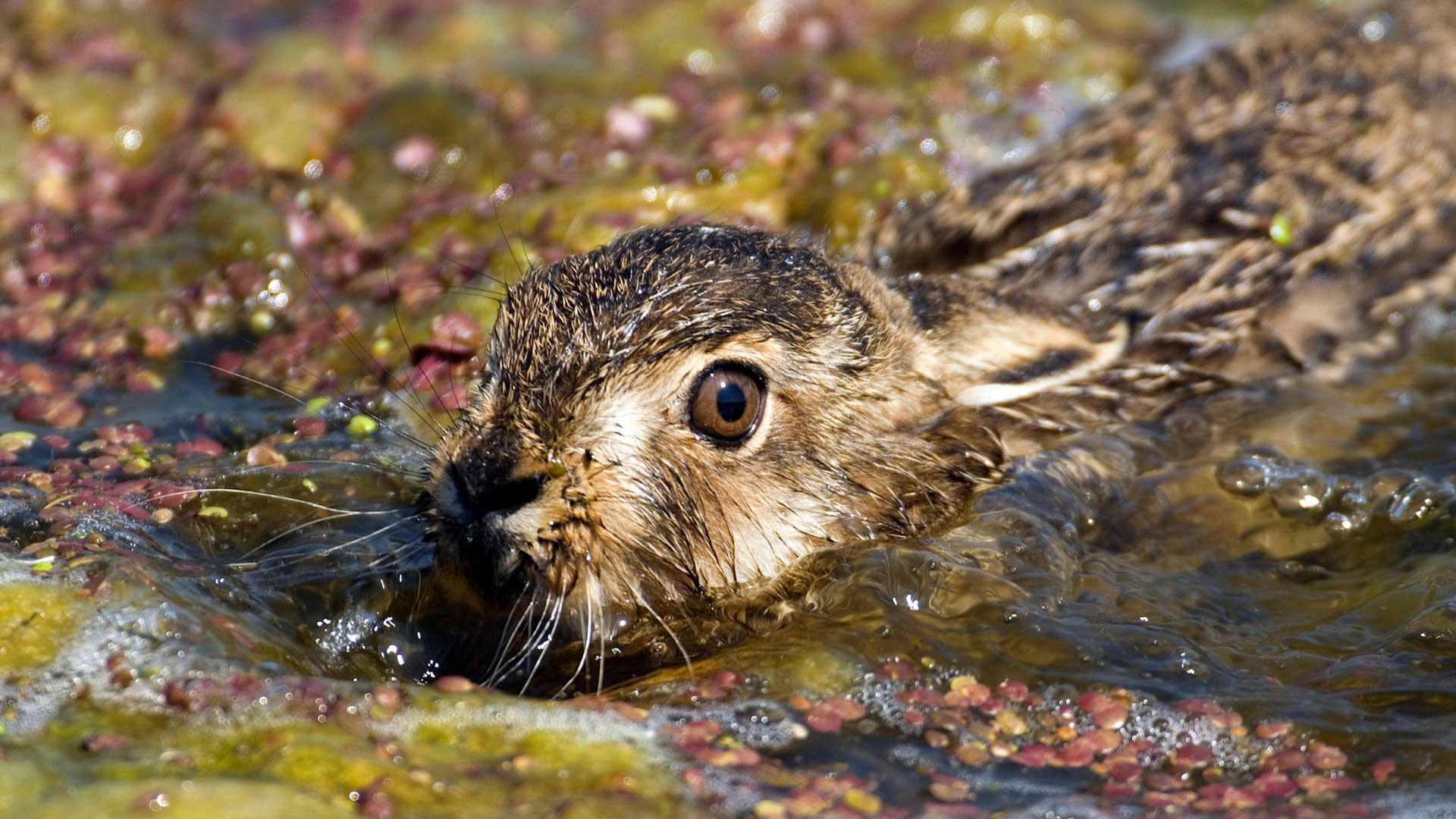 Feldhasen können gut schwimmen und sehr schnell werden. Sind sie vom Aussterben bedroht?